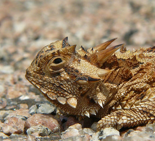 Texas Horned Lizard, south Texas | by TomSpinker
