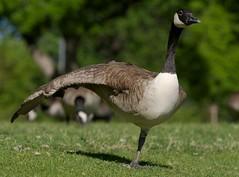 Photograph: Goose Aerobics