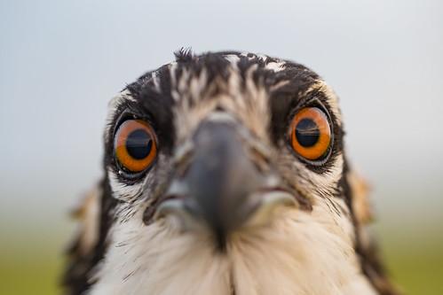 bassriver newjersey unitedstates us osprey bird newgretna mullicariver raptor pandionhaliaetus nestling