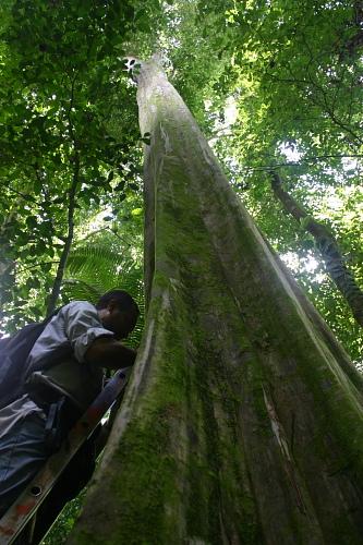Wed, 08/27/2008 - 11:12 - Paulino Villarreal investigating tree growth (Aug 2008). Credit: Markku Larjavaara