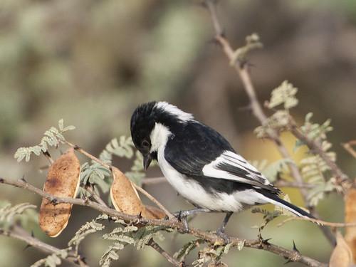 The vulnerable White-naped Tit - Parus nuchalis | by Tarique Sani