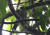 Tiny Hawk (Accipiter superciliosus) by macronyx