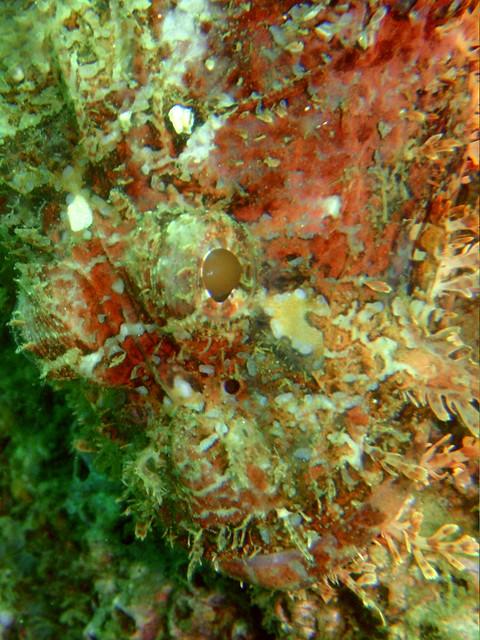 #407 Scorpaenopsis diabolus (ニライカサゴ)
