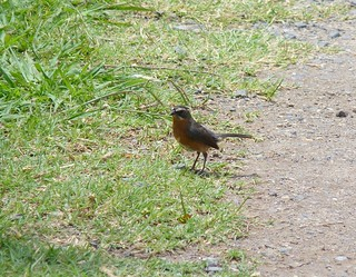 Black and rufous warbling-finch at Buenos Aires P1040154 | by grebberg