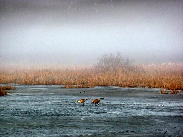 Two Geese on a Misty Morning