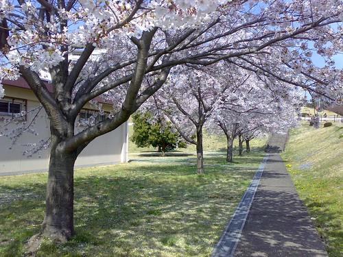 Cherry trees in Zama American High School | by _Yuki_K_
