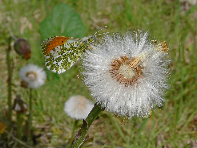 Orange Tip on Coltsfoot 4 May 2010