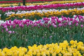 Veldheer's Tulip Farm. Holland Michigan-32 | by mooshinindy