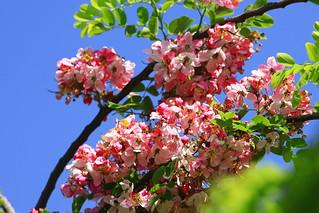 Cassia javanica  爪哇旃那