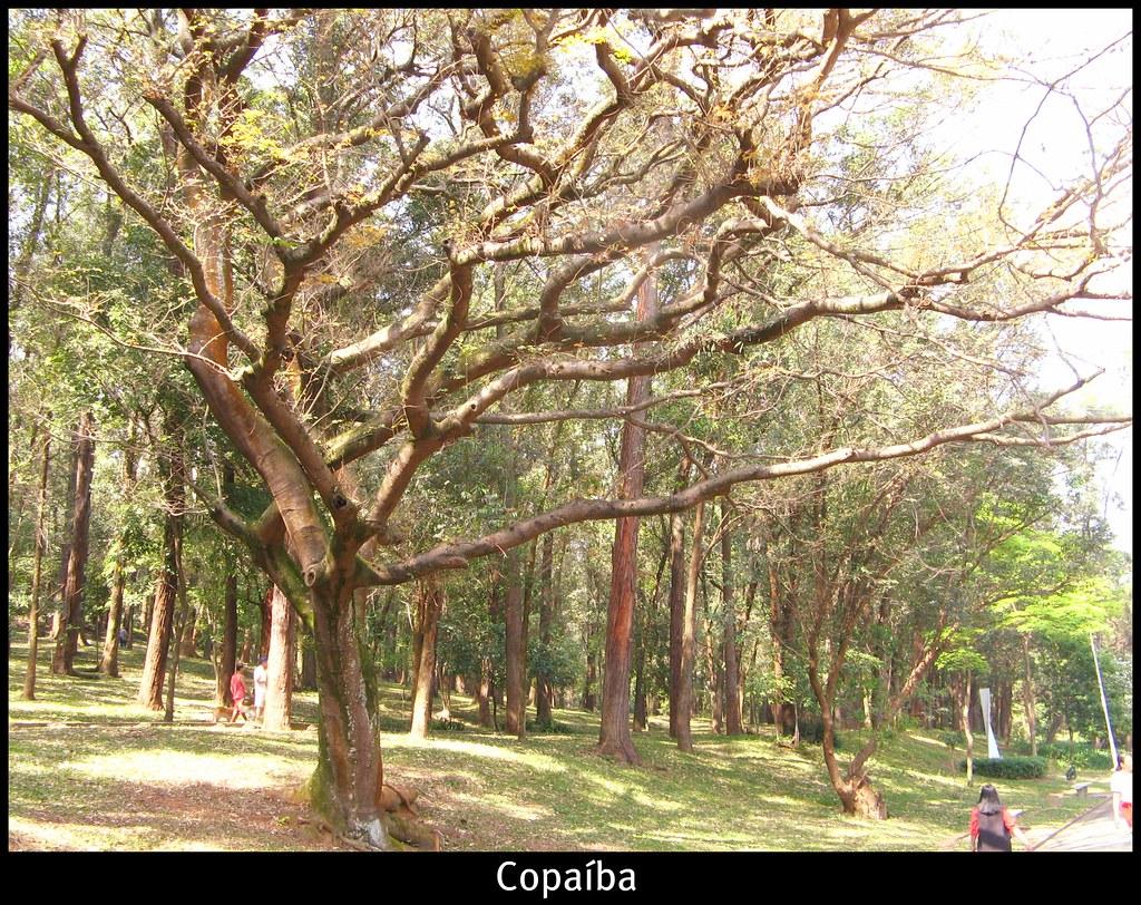 Copaiba (Copaifera langsdorfii) Brazilian booktreemauro