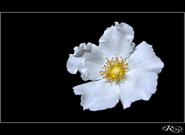 :: Flor de Papel ::