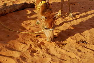 Camel Eating Poop | by goingslowly