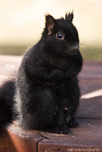 urban cute animal rodent furry backyard squirrel wildlife scavenger blacksquirrel mandj98 jmpphotography jamesmarvinphelps