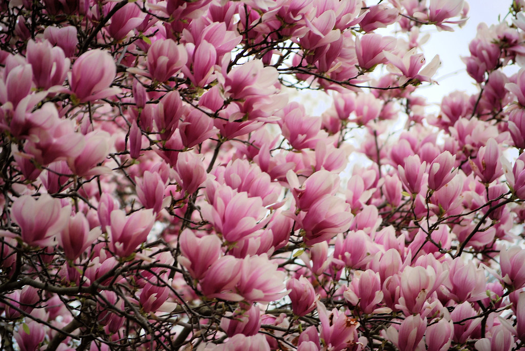 Magnolia Tulip Tree This Is Actually A Saucer Magnolia T