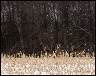 Flickr whitetailed deer  winter scenic | by Rob Lonsberry Photography
