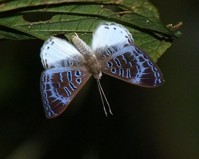 Violacea Metalmark (Livendula violacea)