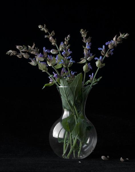 Salvia officinalis   culinary sage, 8487