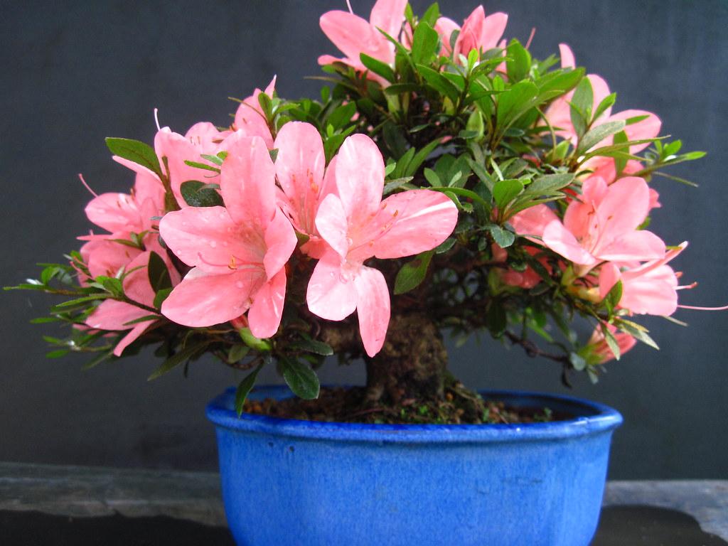 Shohin azalea