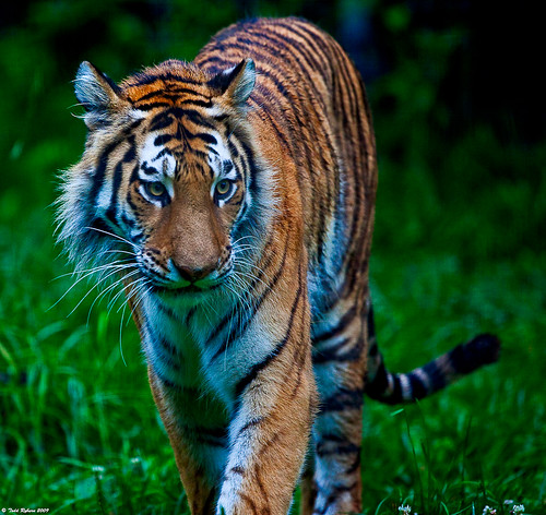 animals zoo wildlife tiger 2009 peoriail peoriazoo canon5dmarkii flickrbigcats
