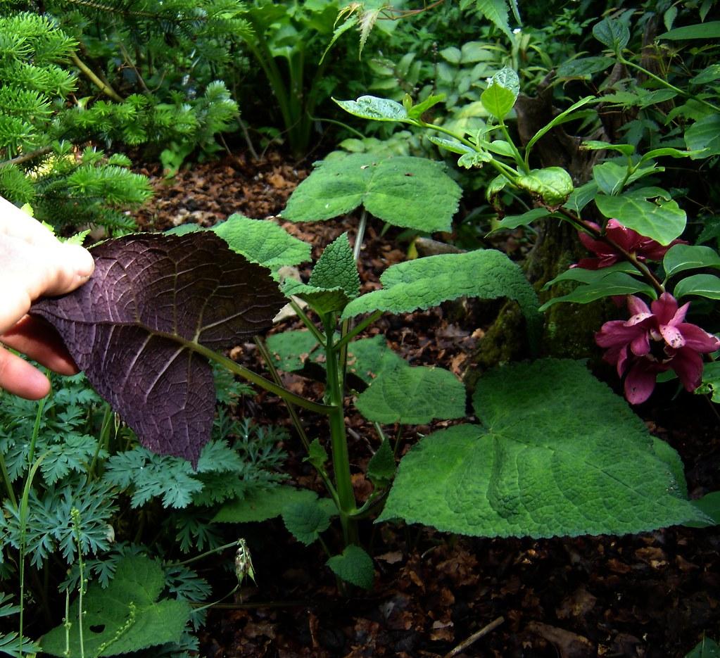 Salvia omeiana Crug Thundercloud
