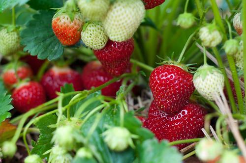 strawberries | by jronaldlee