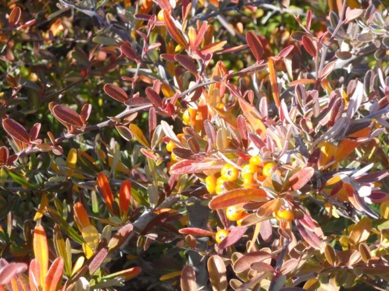 Pyracantha coccinea 'Orange_Glow' (espino de fuego)