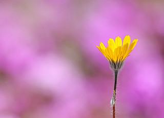 Desert Sunflower (Geraea canescens) | by steveberardi