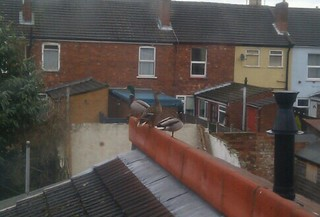 Ducks on our roof! | by artesea