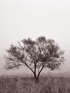 Lone Tree Surrounded by Fog - V.1 | by CJPolitzki
