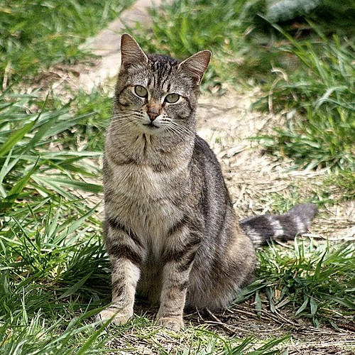 The Unknown Tabby Cat by Chriss Pagani