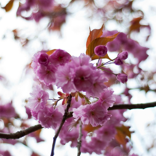 010510_ Blossom #2 (121/365) | by Headphonaught