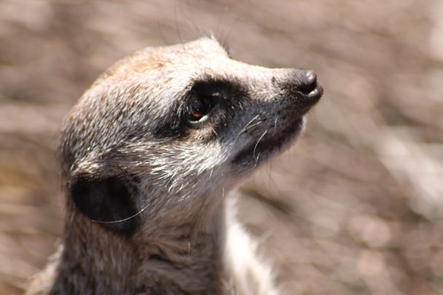 Meerkat | by meriwilliams