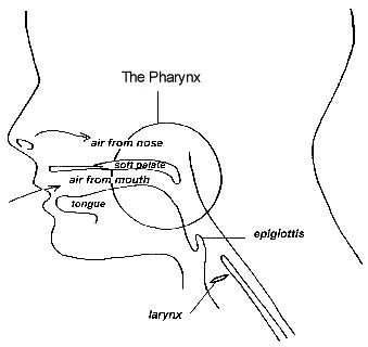 diagram-of-pharynx | by 3-idiot