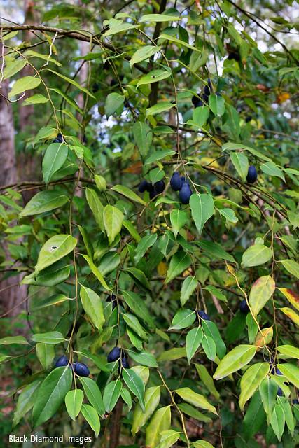 Cryptocarya rigida - Forest Maple, Rose Maple