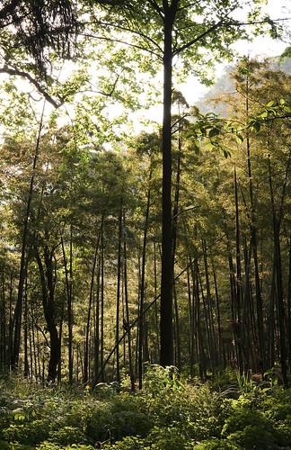 china travel trees sunset sky plants plant tree photography bush asia chinese bamboo prc 中国 moganshan zhejiang peoplesrepublicofchina 莫干山 中华人民共和国 canon40d deqingcounty moganshannationalpark mountmogan 169kmswofshanghai