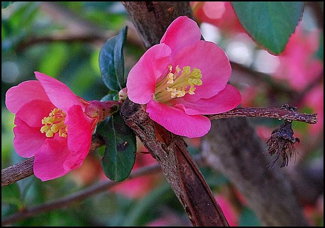 5 - 18 avril 2010 Créteil Bords de Marne Îles Printemps rose = Pink Spring Cognassier du Japon
