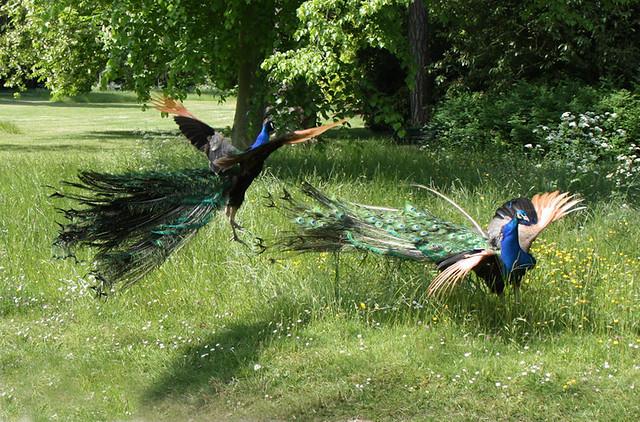 Jardins de Bagatelle, combat de paons