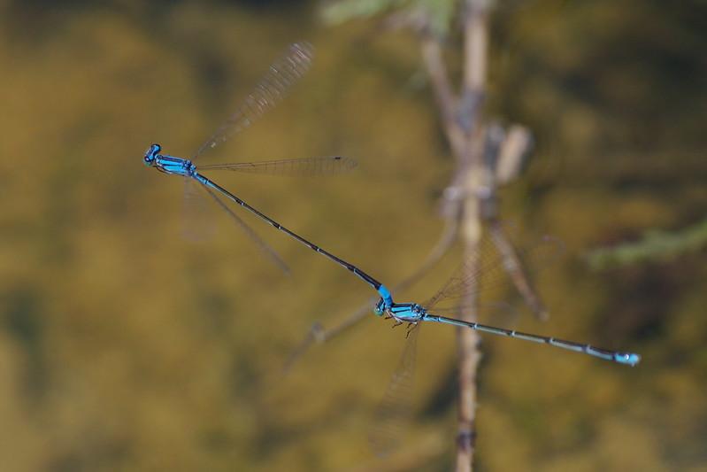 Aciagrion migratum