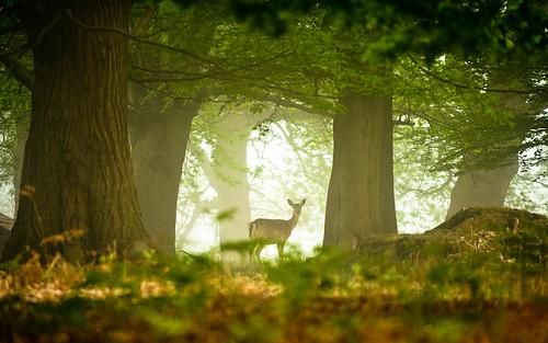 morning trees england mist nature misty fog fairytale forest sunrise landscape countryside kent spring woods nikon bokeh wildlife deer ethereal wonderland storybook magical 70200 f28 enchanted d3