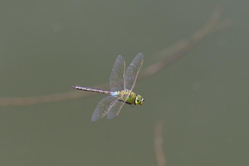Anax parthenope julius