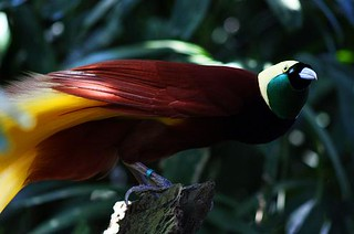 Burung Cendrawasih Papua Papua Box Flickr