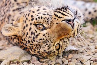 Female leopard rolling | by Tambako the Jaguar
