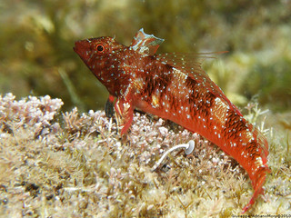 Red Blenny | by Cjasar