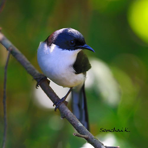 หางรำดำ Black-headed Sibia | by somchai@2008