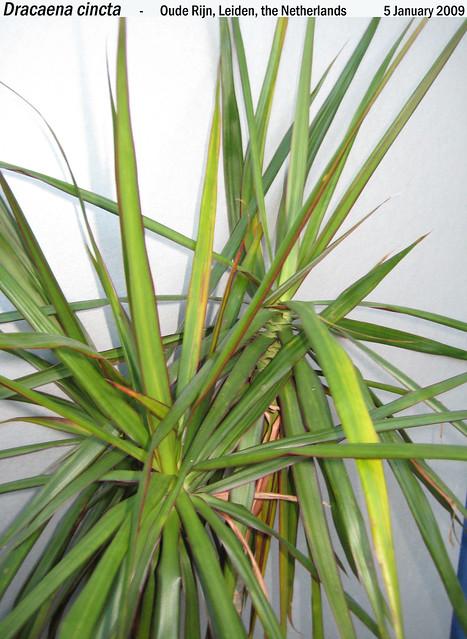 Dracaena cincta? - cultivated Oude Rijn, Leiden, the Netherlands 5 Jan 2009 Leo