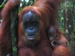 Orangutans | by surrealpenguin