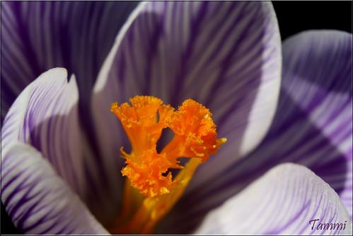 county york flowers flower macro canon eos spring purple pennsylvania january tammy crocus center 2010 tammi mimamorflowers strengthfromabove