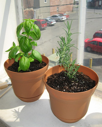 herbs rosemary basil
