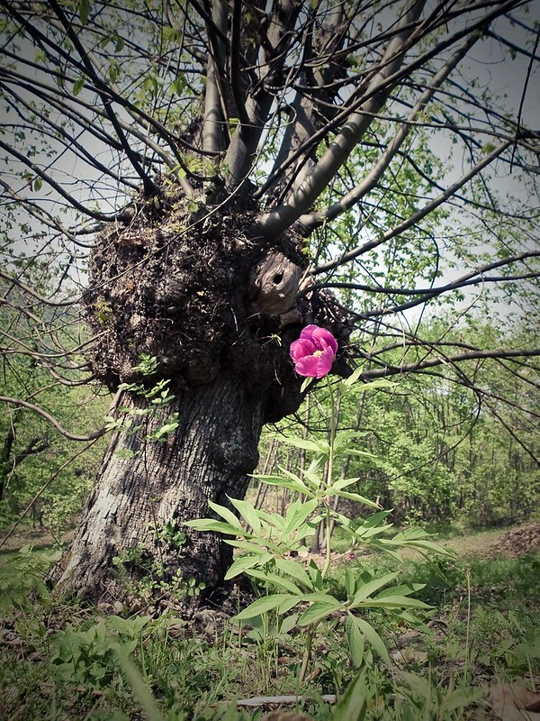 There were a chestnut and a peony into the wood and...