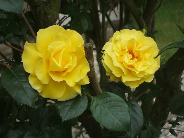 Rose: Teerosen-Hybrid 'Landora' 1206201001